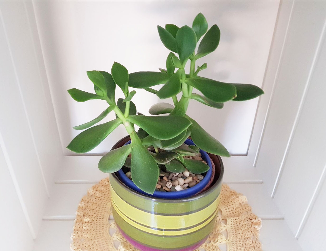 The Jade plant I keep in my office is doing great inside.