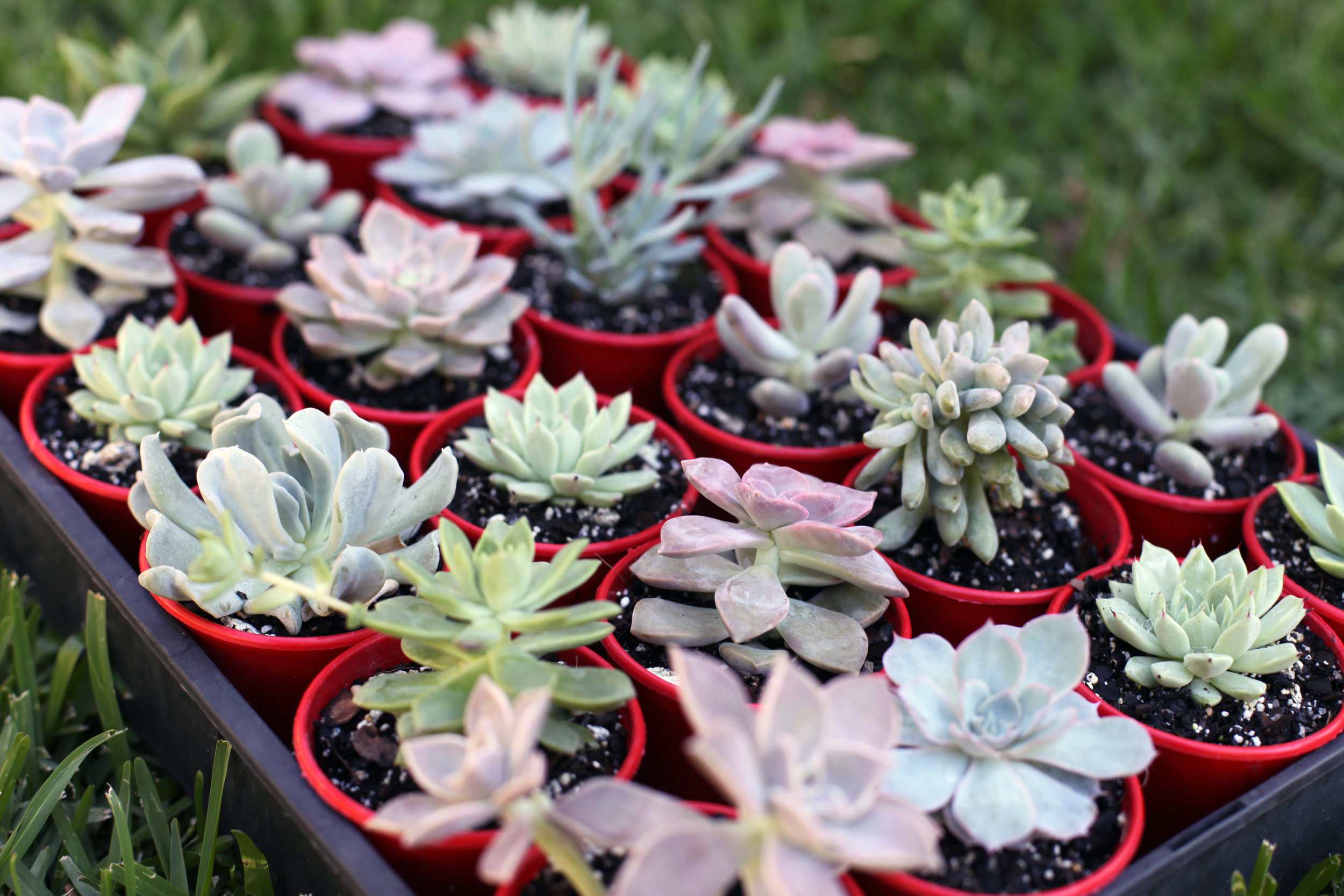 special order succulents