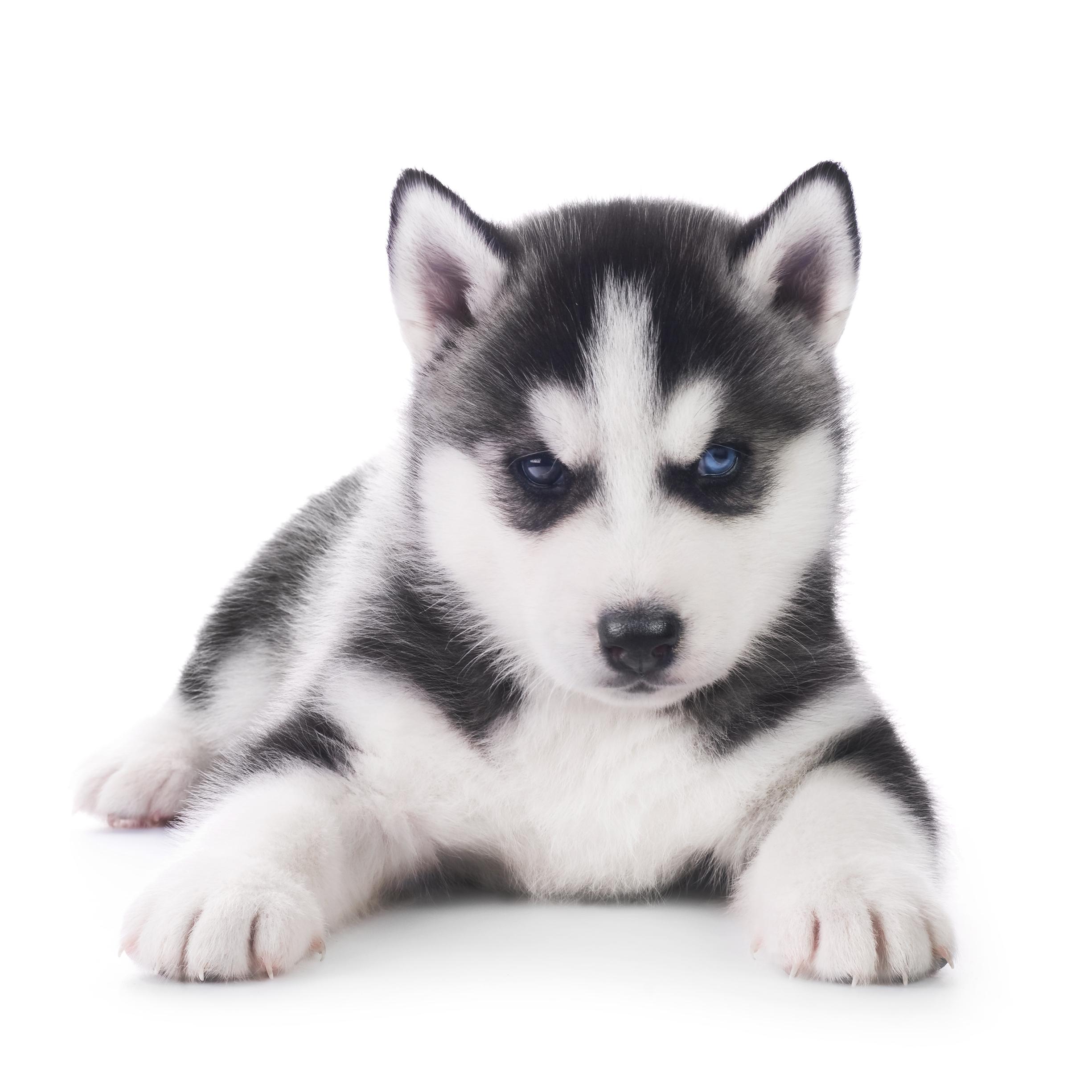 International Puppy Start Right Preschool classes seminars in Europe, Canada, Australia, Asia.