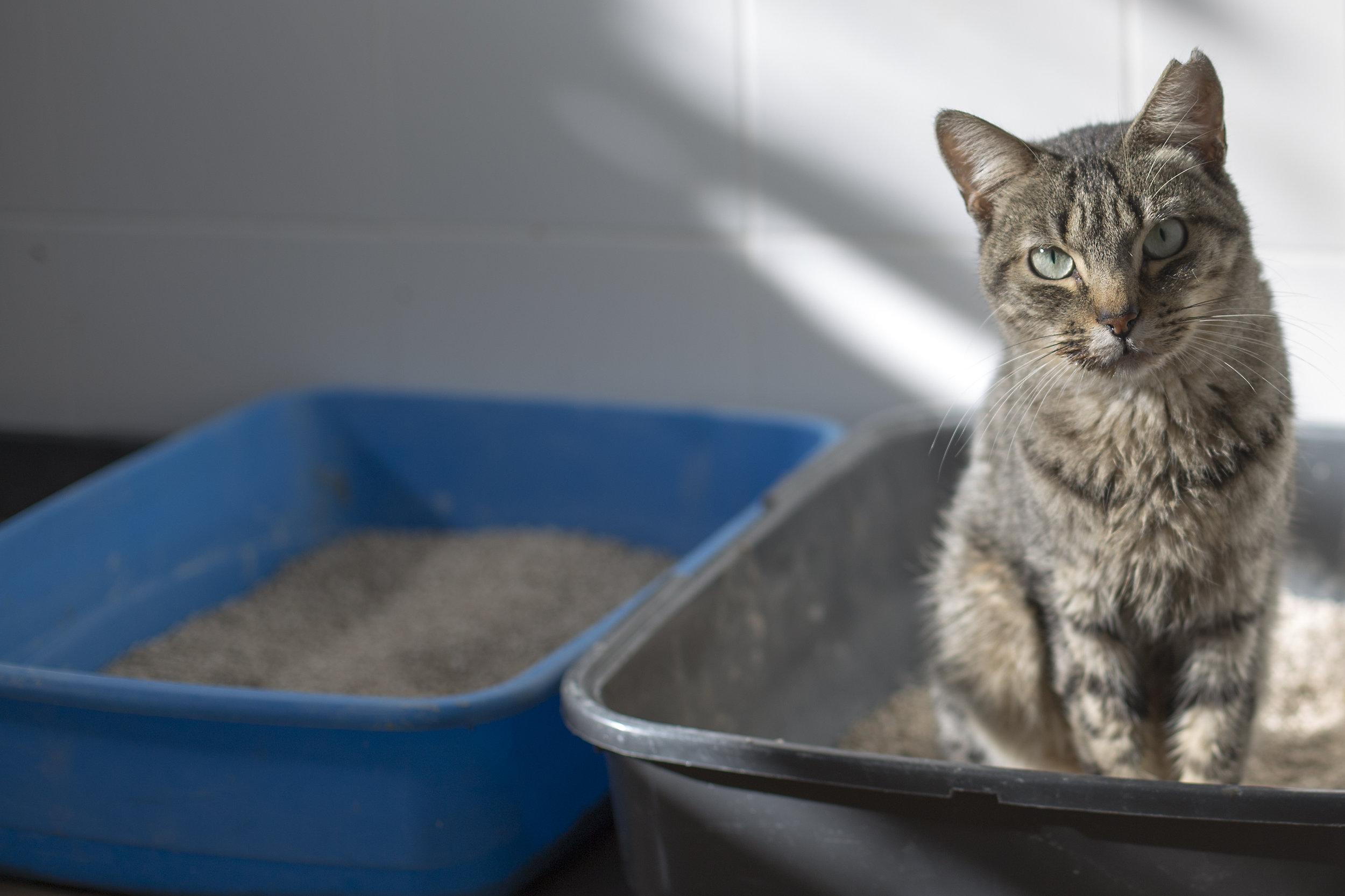 Cat not peeing in litterbox- cat behavior training for veterinarians.