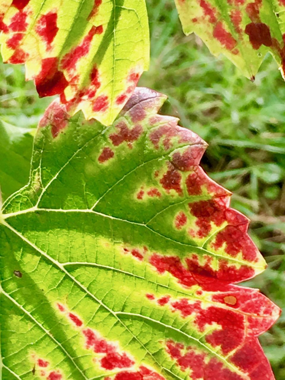 Weinblatt grün mit rot im Herbst