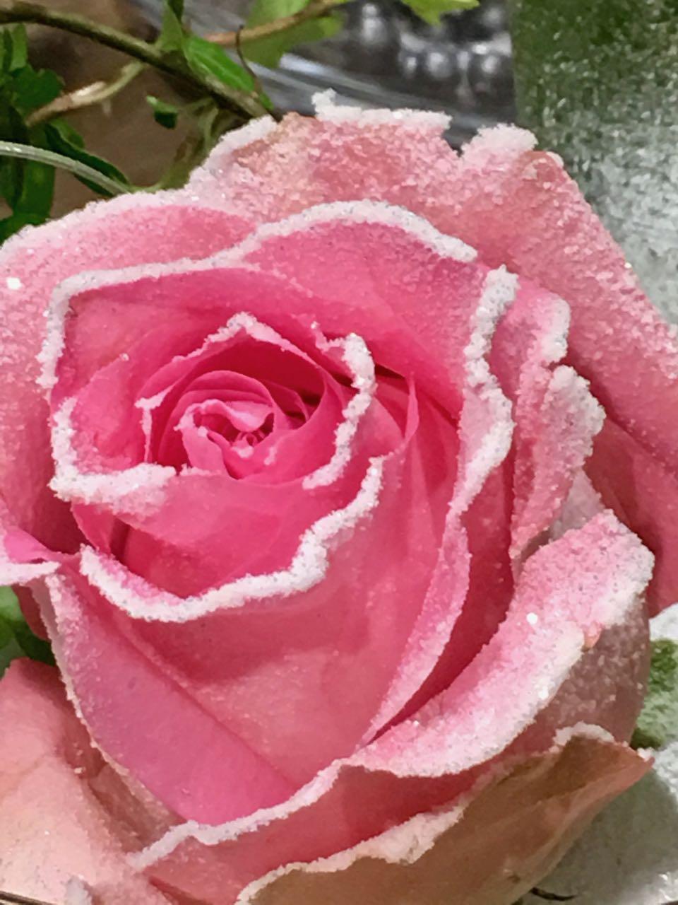 rosa Rose mit Zuckerrand