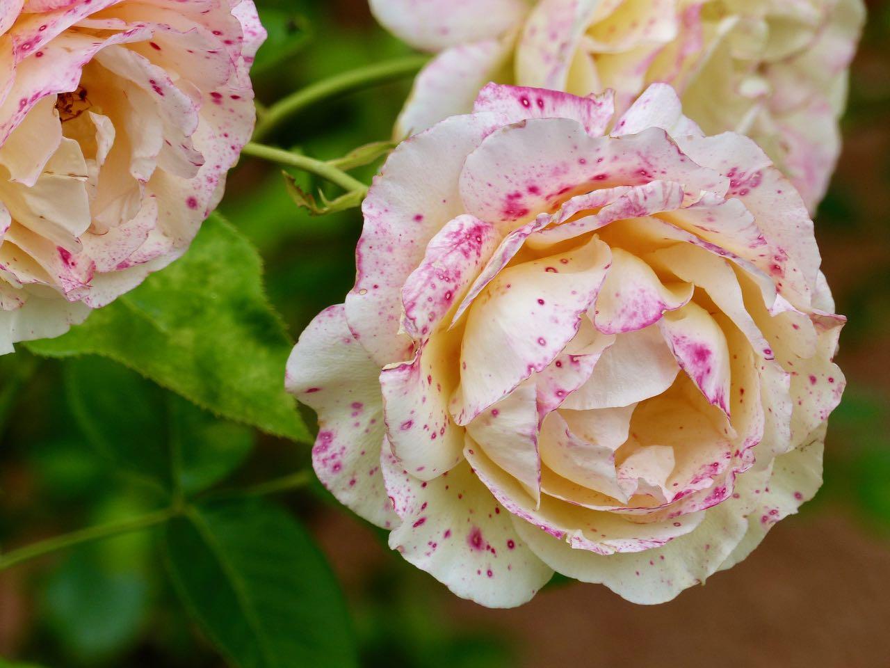 weiße Rose mit pinkfarbenen Sprenkeln