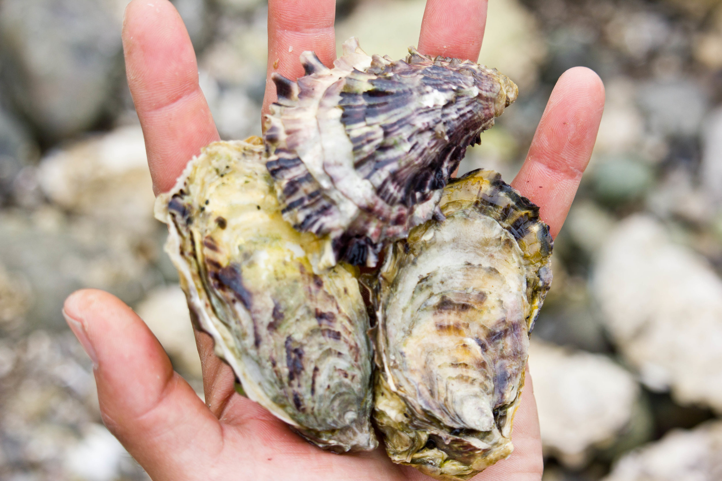 Olympic Oysters. Credit: Miriam Sebring Photography.