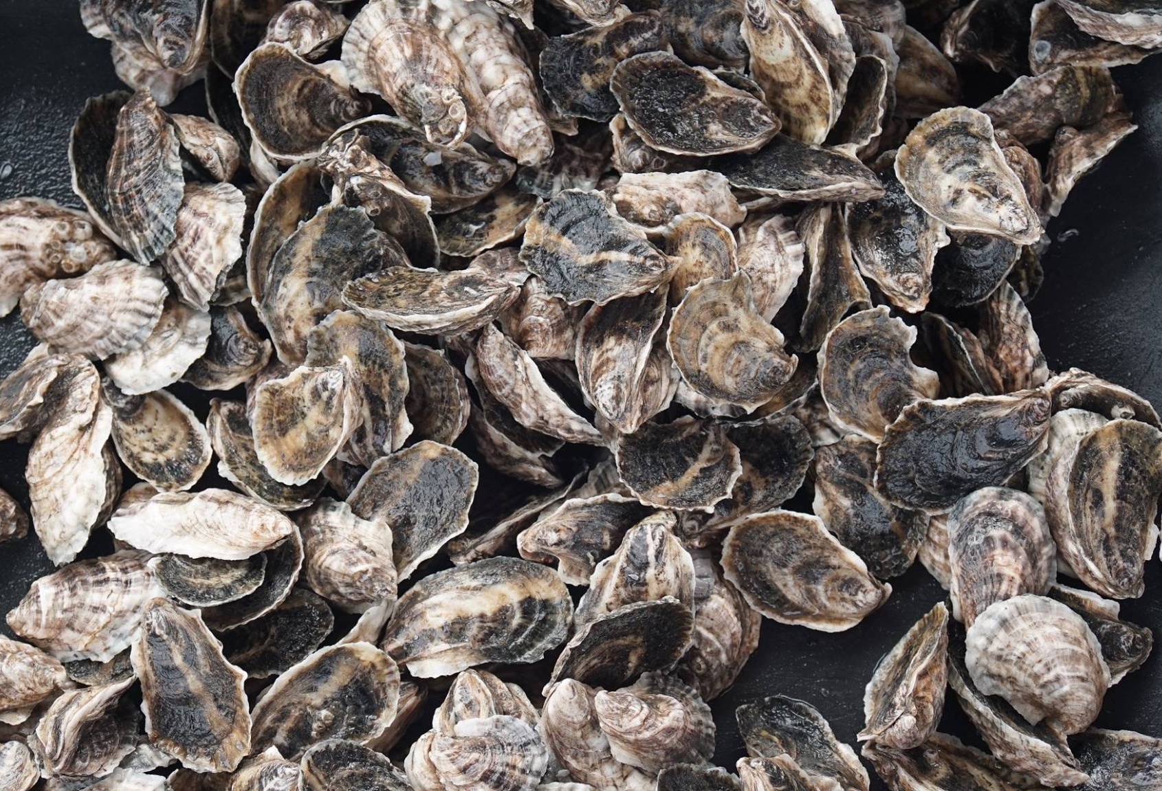 Oyster Boss oysters. Source: Burns Images.