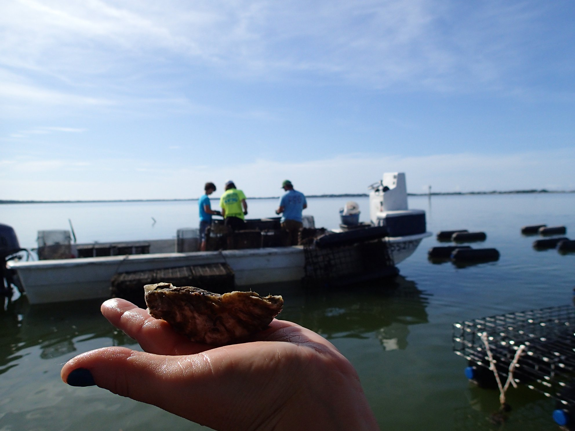 Oysters on the farm in Alligator Harbor. Source: Nicolette Mariano