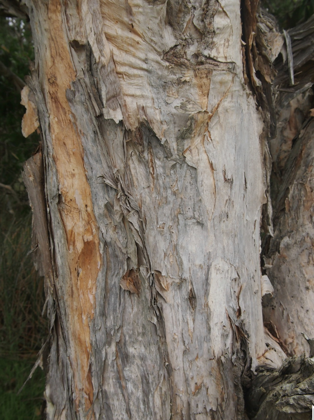 The Niaouli tree or paper bark tea tree