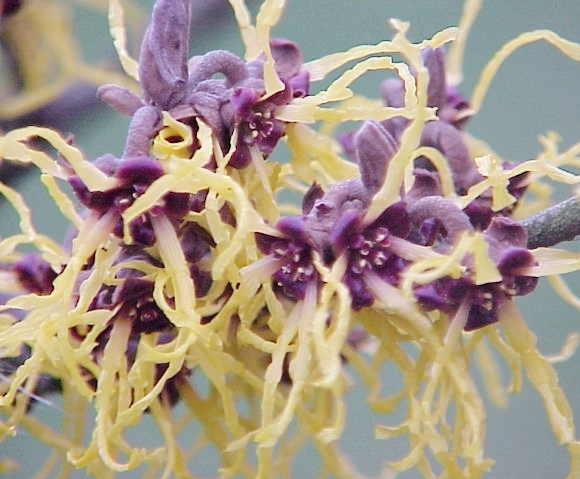 Witch_Hazel_2.jpg