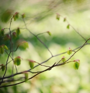 Beech_tree_buds.jpg