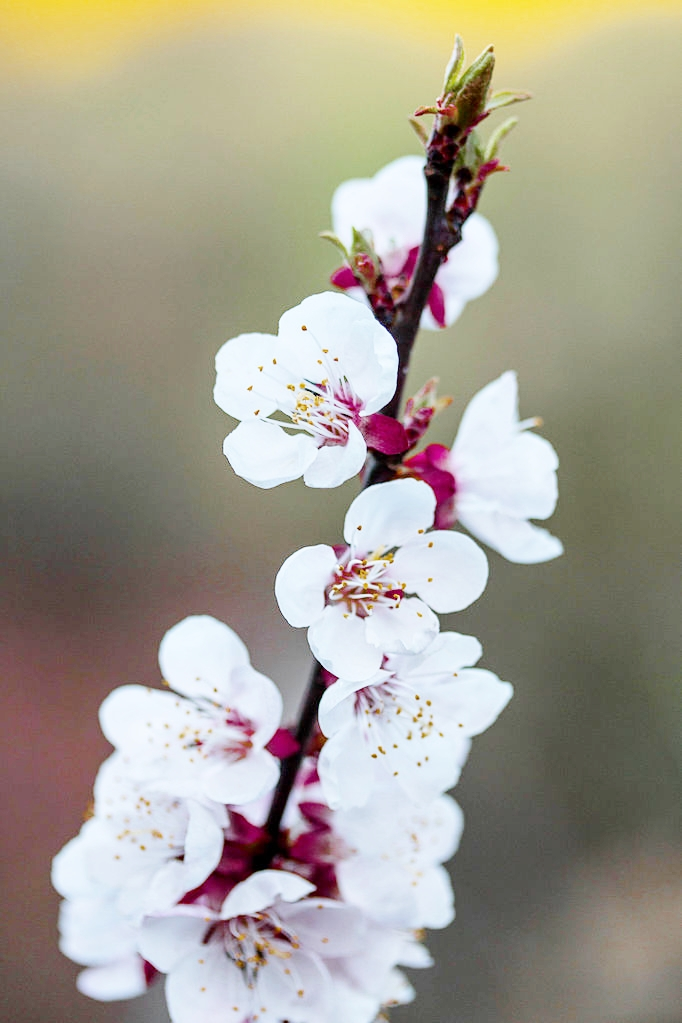 Apricot_tree_blossoms.jpg