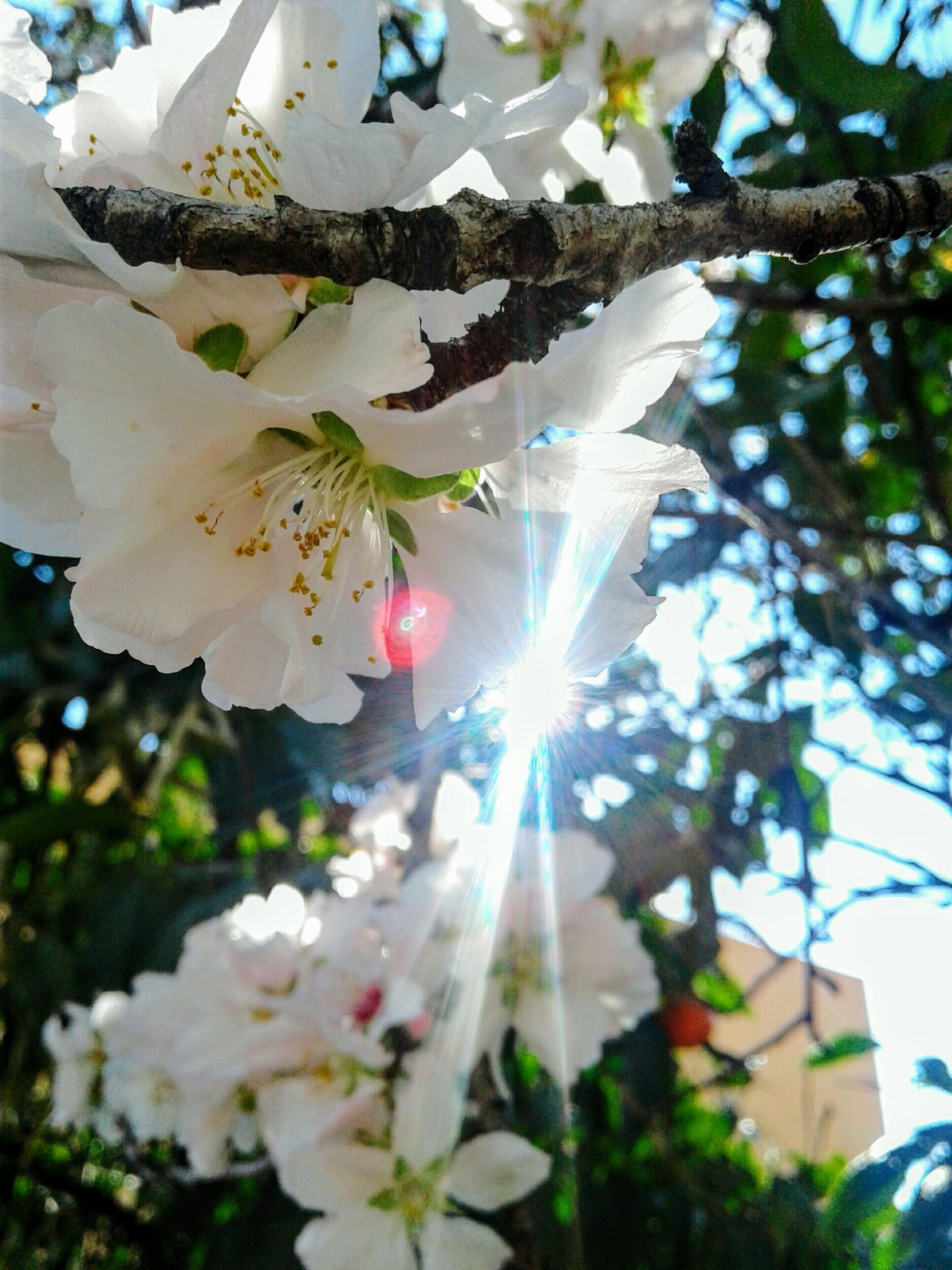 Sweet_almond_blossom.jpg