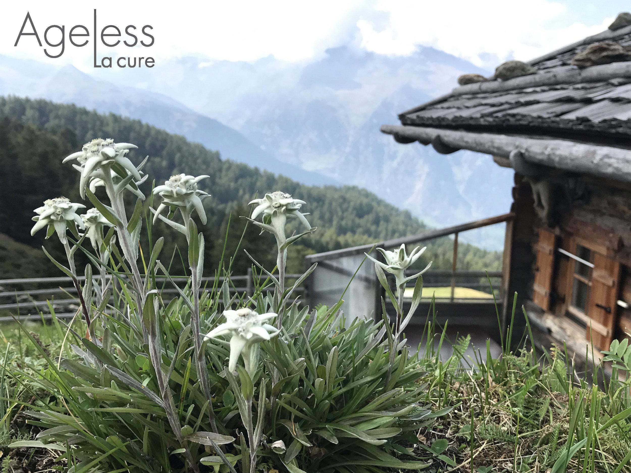 edelweiss-essential-oil-swiss-skincare.jpg