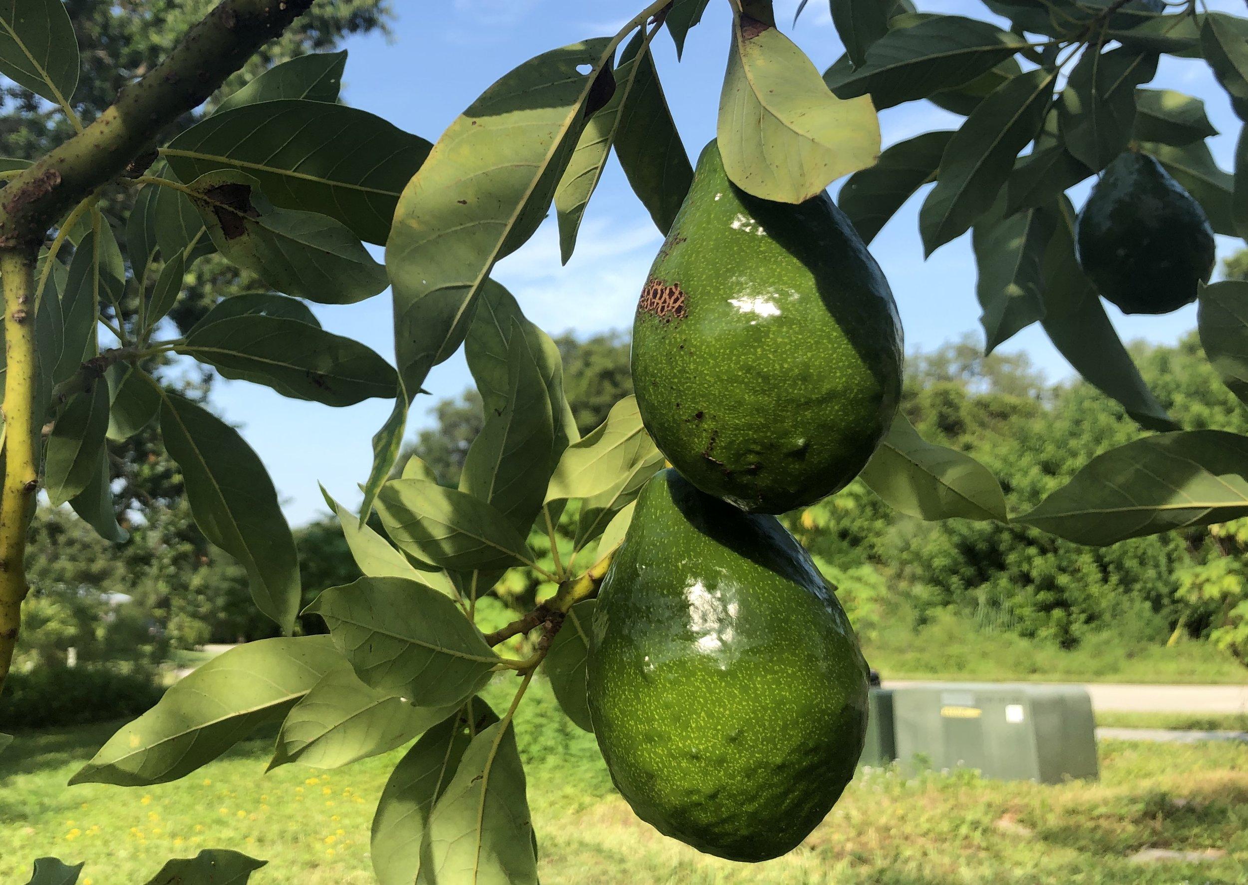Kashi Avocadoes