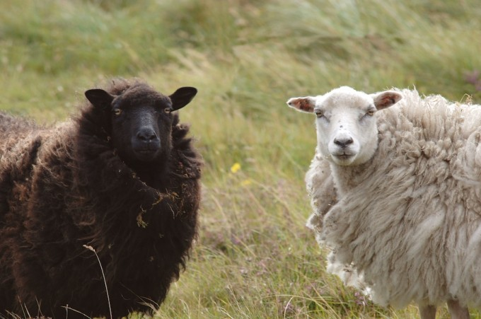 Two of the Shetlands