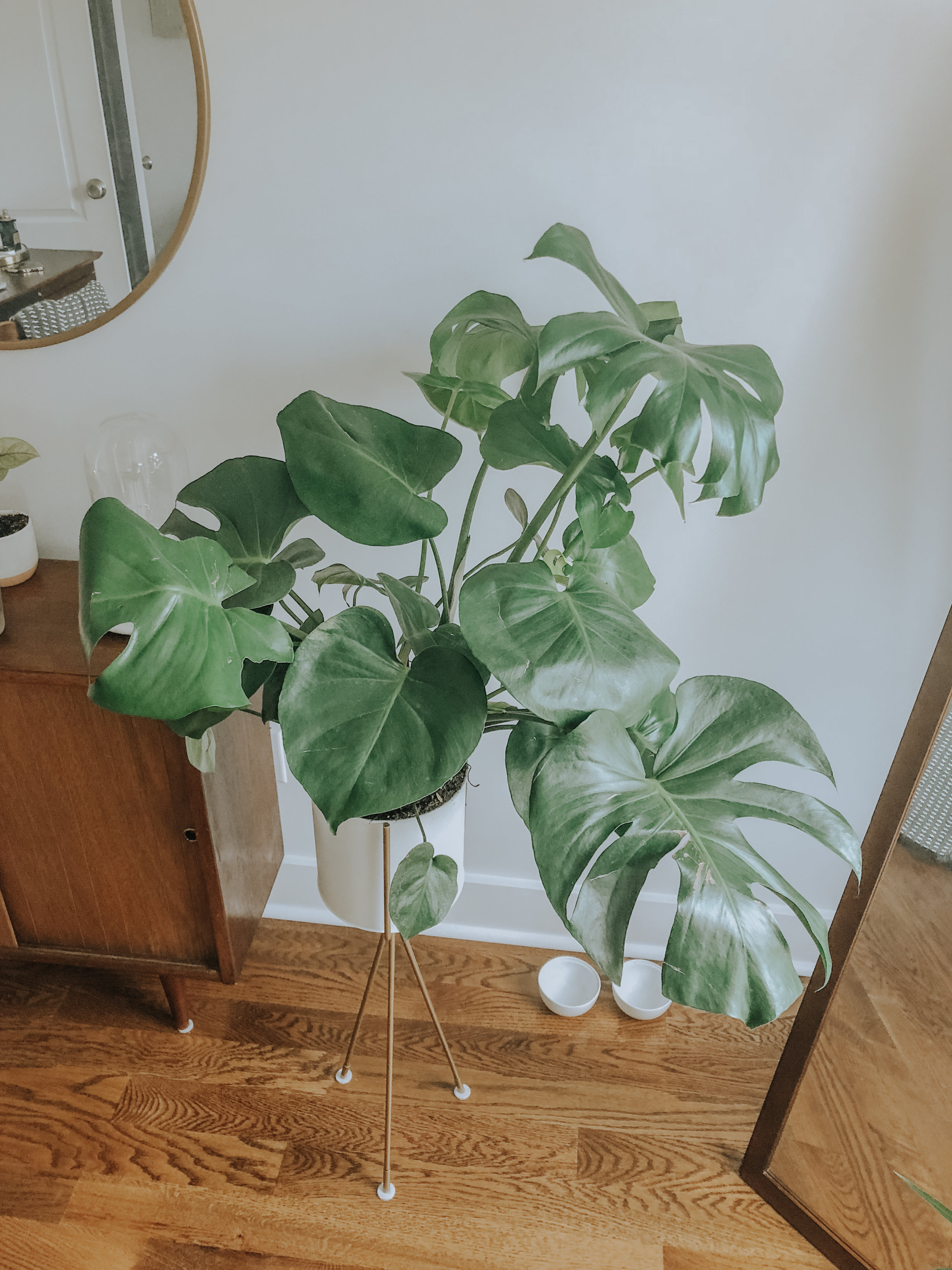 My favorite plant, the gorgeous Monstera.