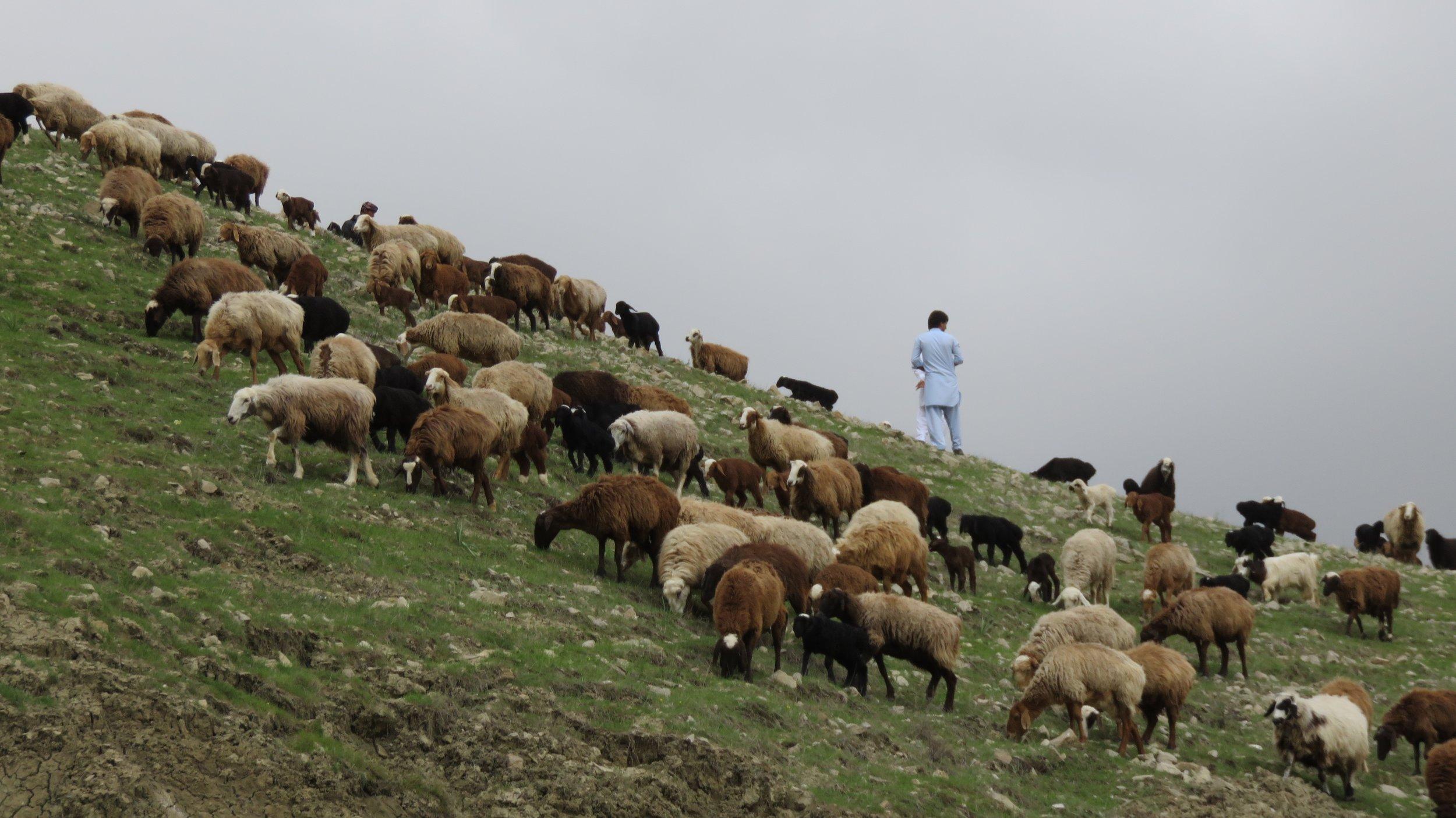 shepherd and sheep.jpg