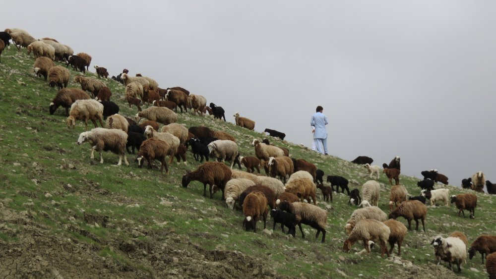 shepherd+and+sheep.jpg