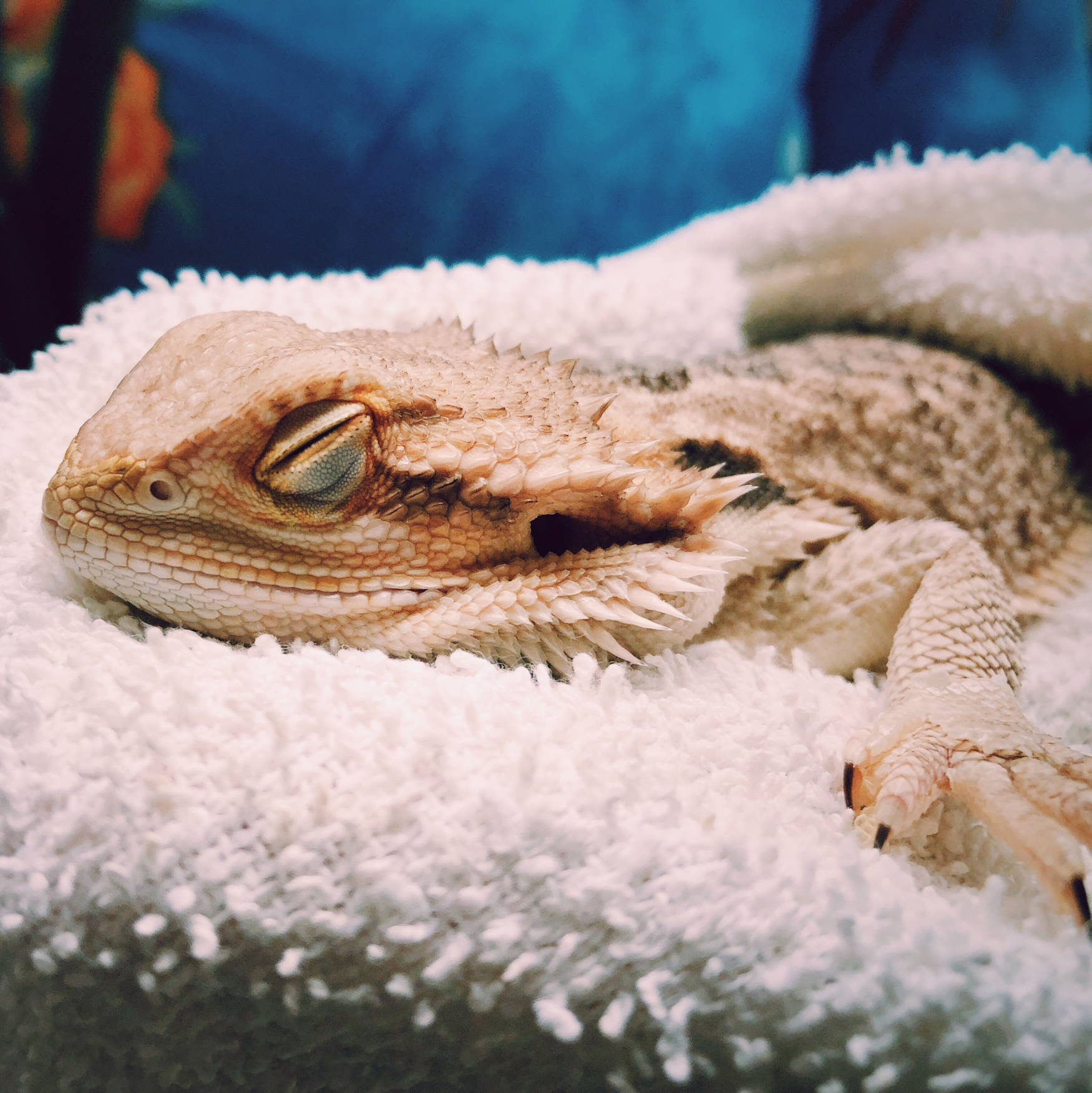 Khaleesi catching some zzz's between classes. Being pampered and held all day is hard work.