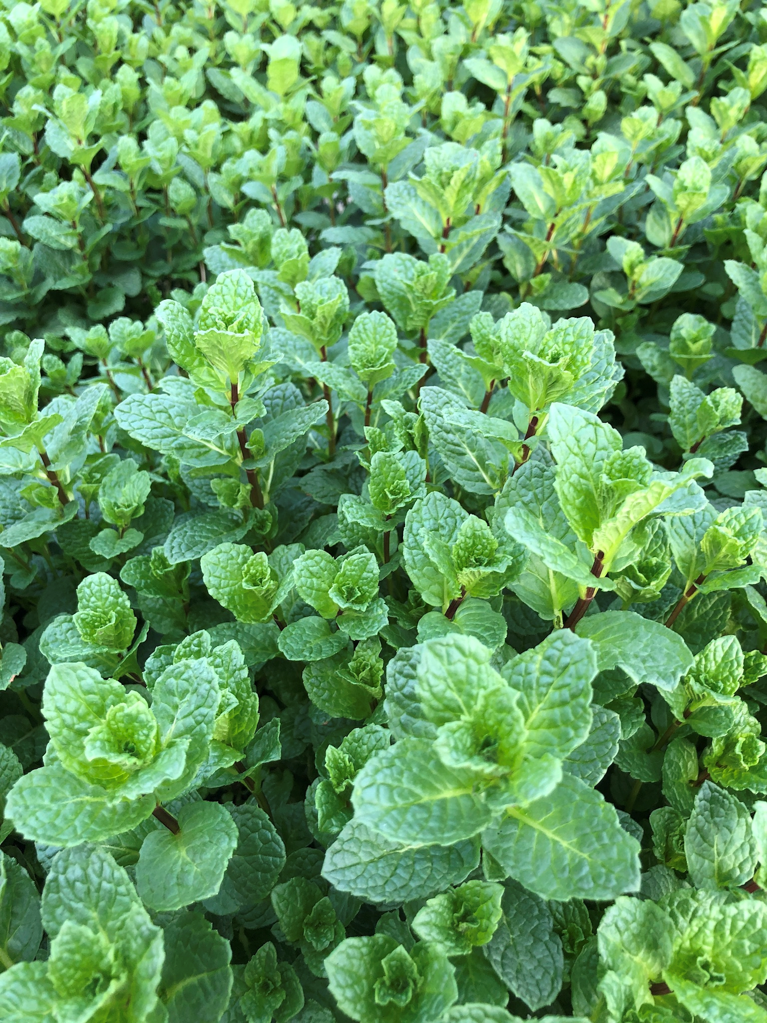 A up close shot of some of our mint production