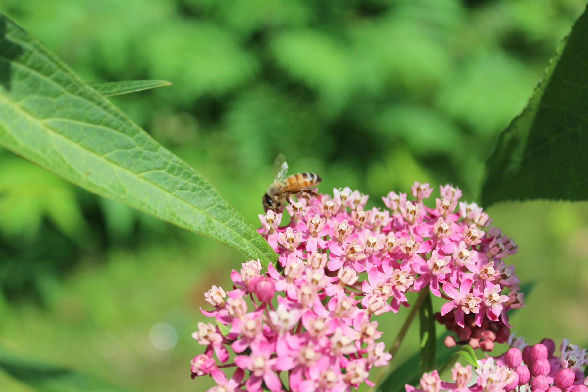 One of Kelly's honeybees enjoying the Butterfly Bush