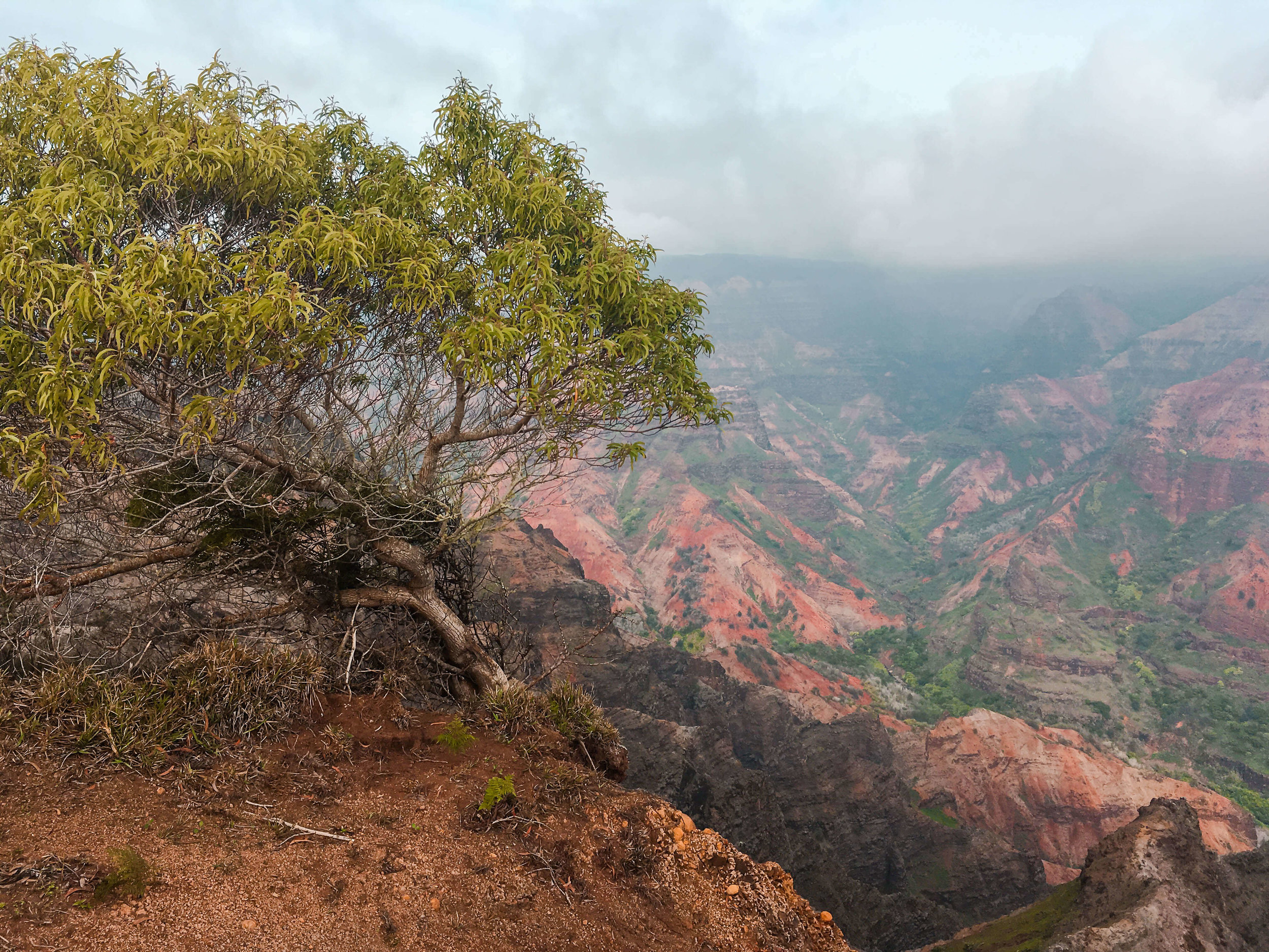 Kauai Hawaii Waimea Canyon Tree