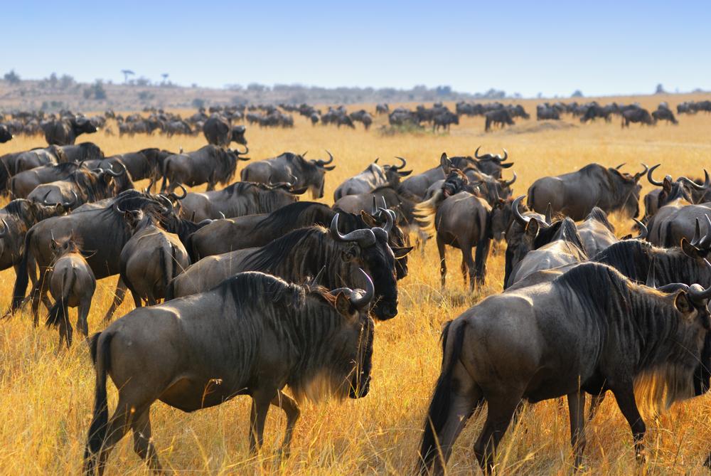 The Great Migration, Kenya