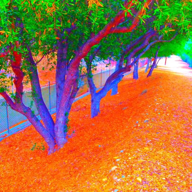 Olive trees on orange grass.JPG