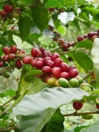 Cafe del Fundo La Colorada para cosechar -