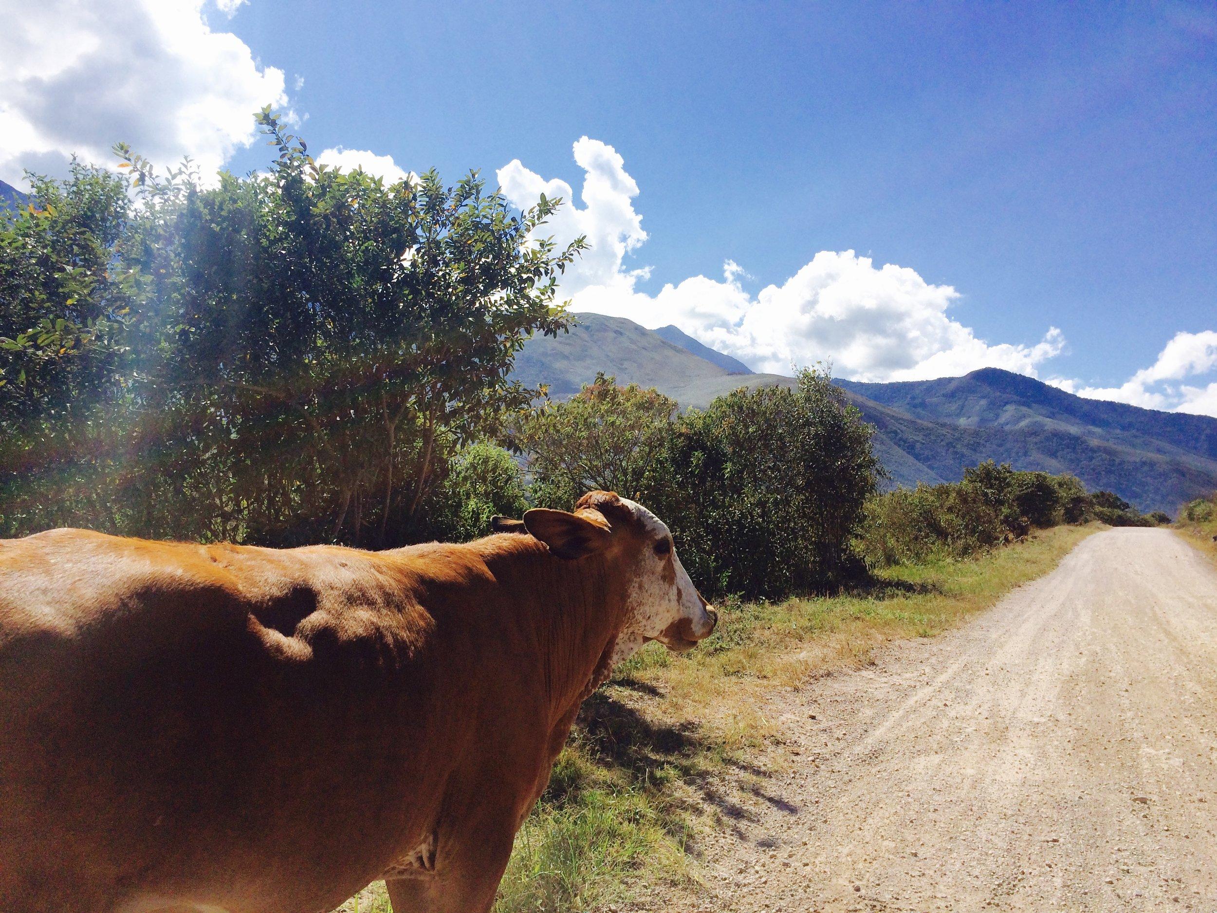 Escapando el transito de Lima, por las pistas de Huancabamba las vacas de guian en el camino. -