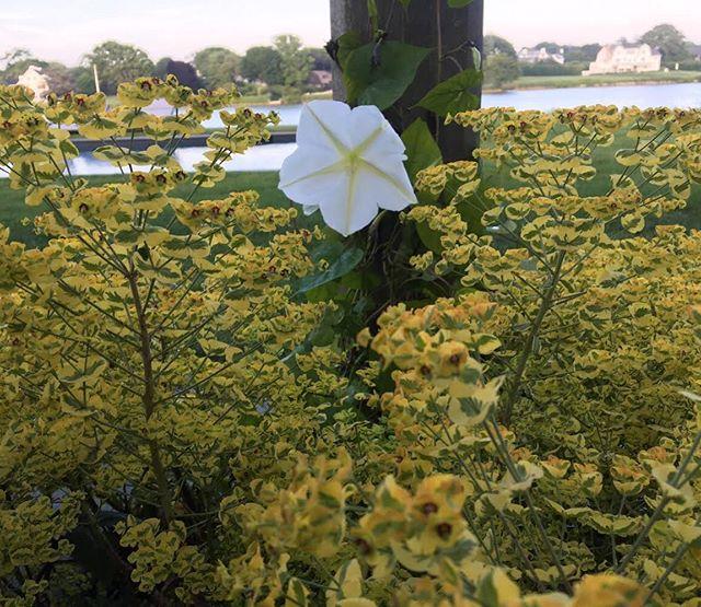 Morning Glory engulfed by Euphorbia