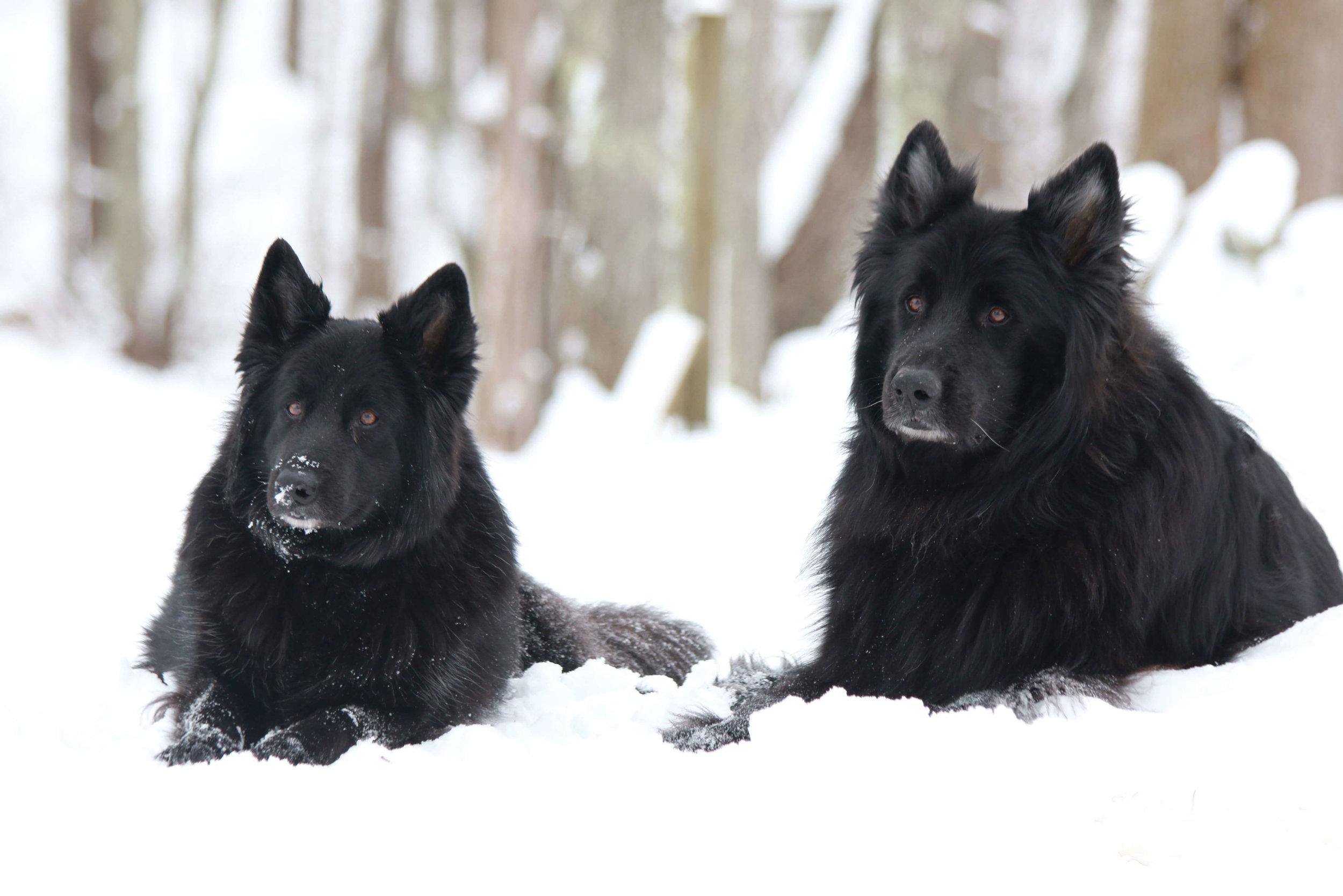 Canine -