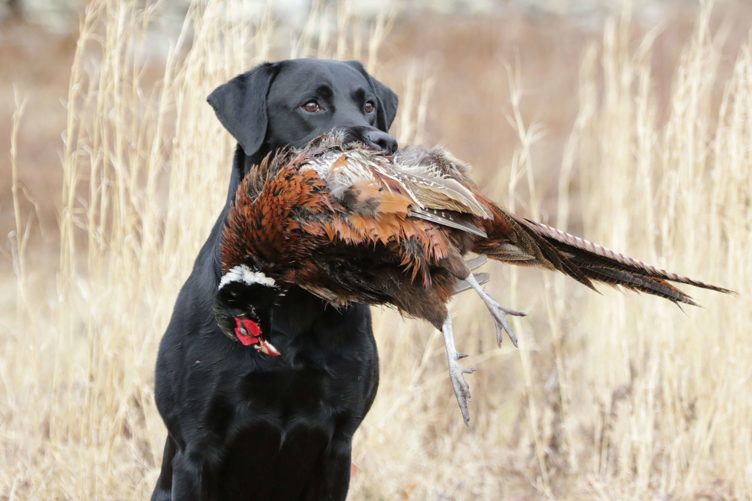 Hunting Dogs -