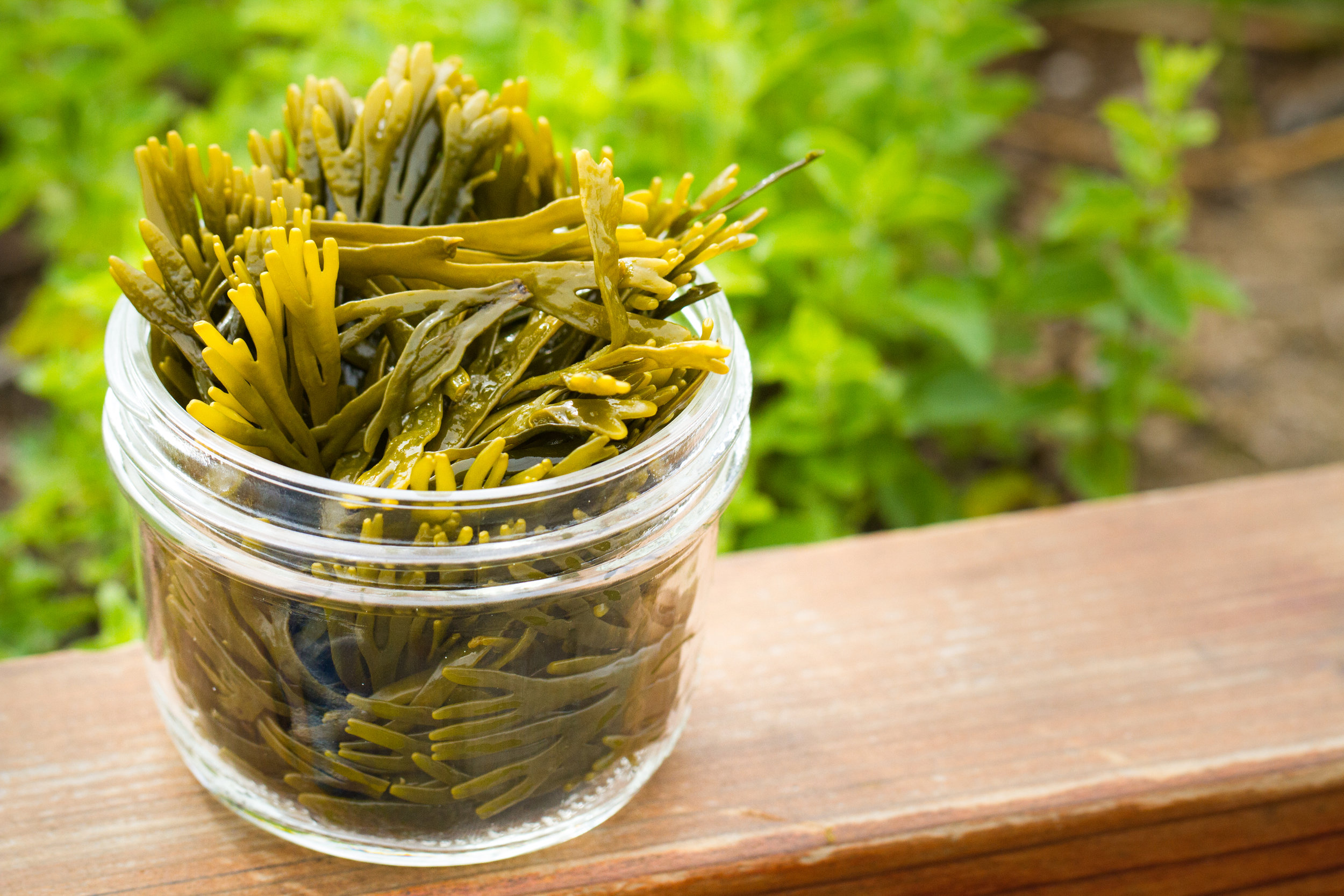 Dwarf Rockweed (Pelvetiopsis limitata) - Dwarf Rockweed has a mild flavor and tender fronds are great in salads and eaten raw. Often used in clam-bakes and or brewed into a tea. Available year-round.
