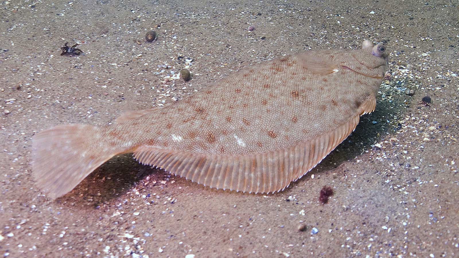 Image: American Museum of Natural History - a Flounder blending into its environment