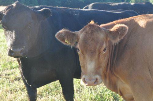 free-range-grass-fed-beef-cows.jpg