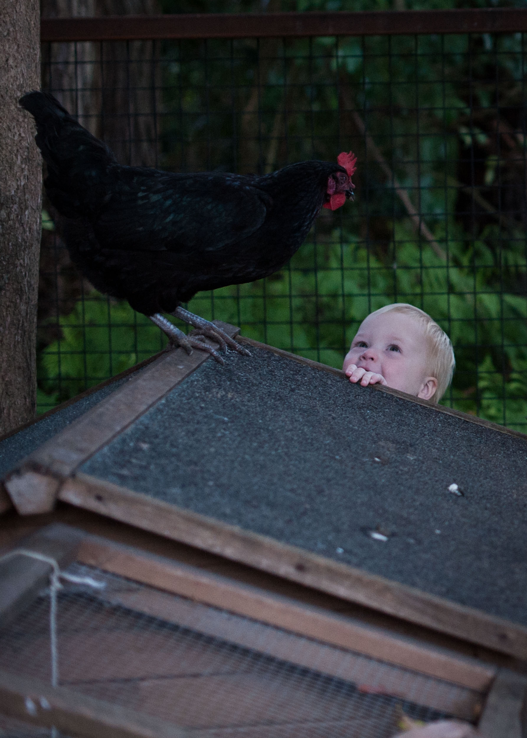 Toddler laughing at rooster on henhouse
