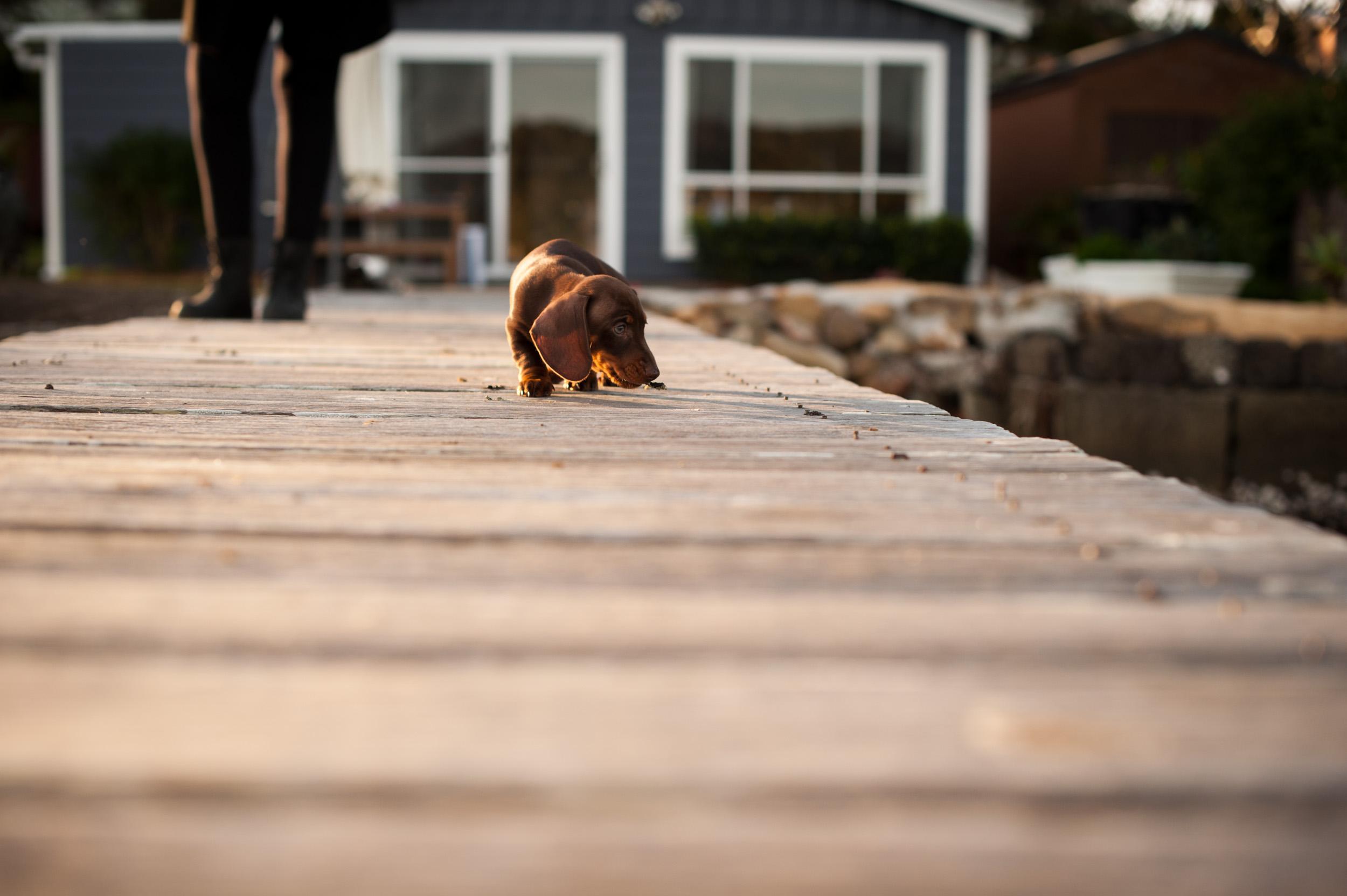 Sausage dog walking on a jetty