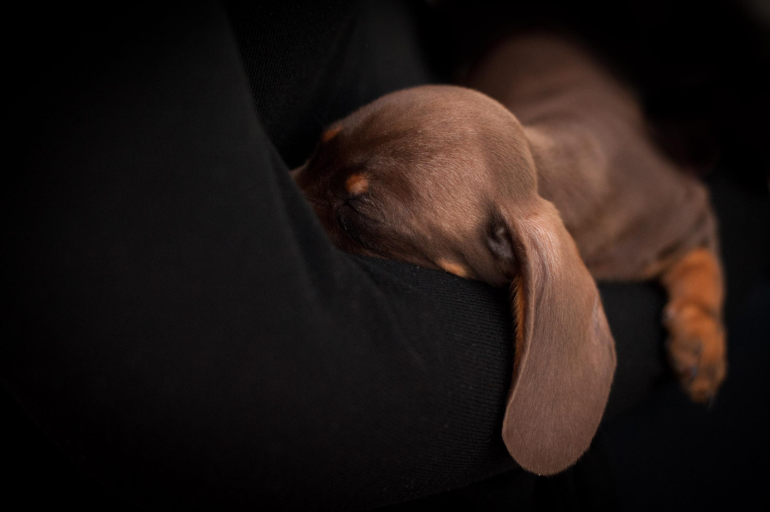Sausage dog snuggling up