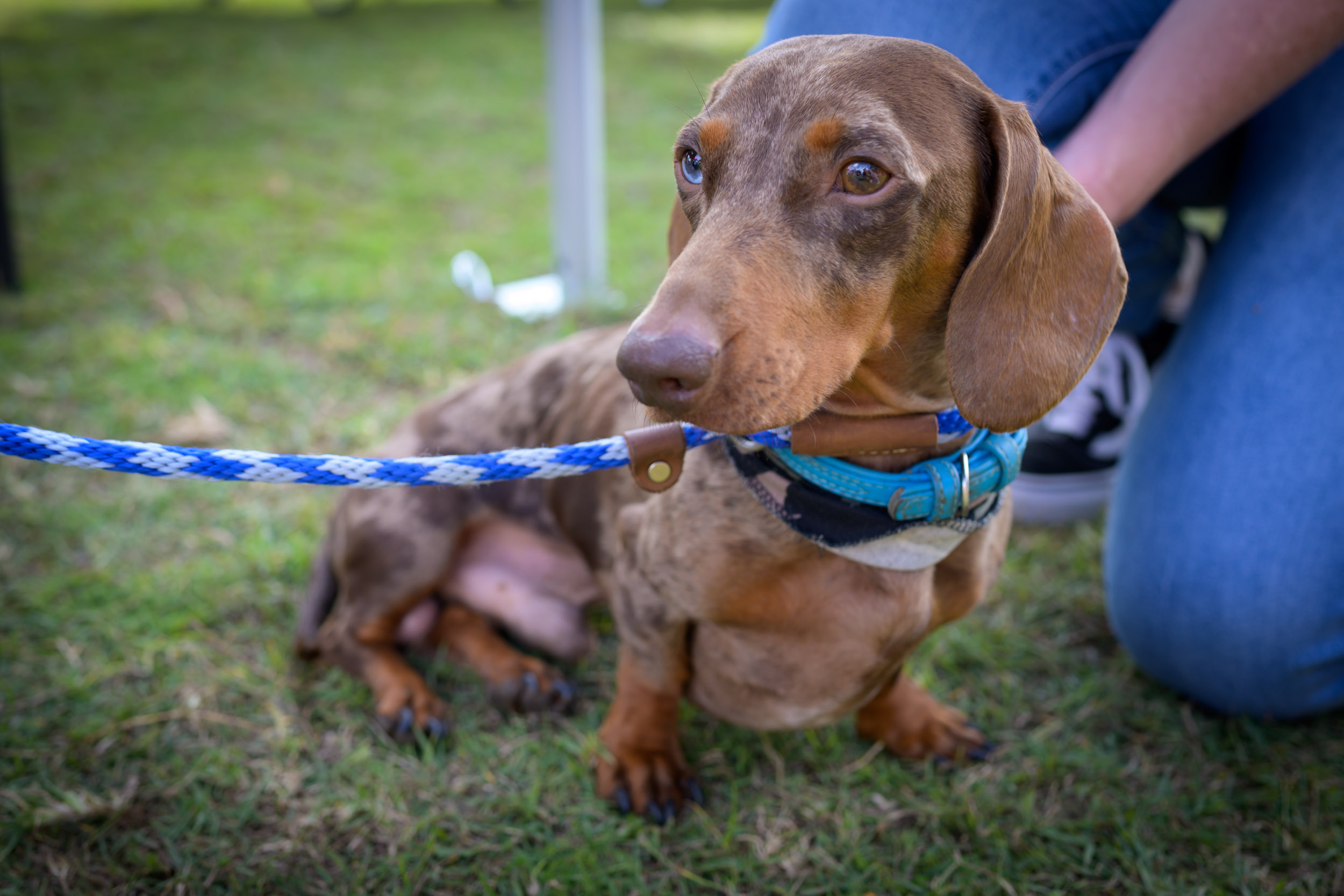 sausage dog with a blue eye