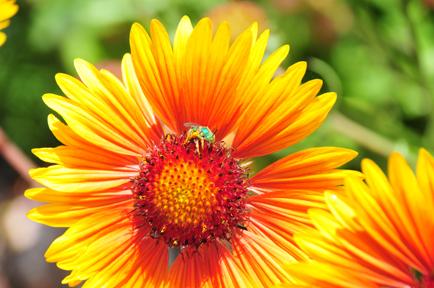 flower_greenbee.JPG