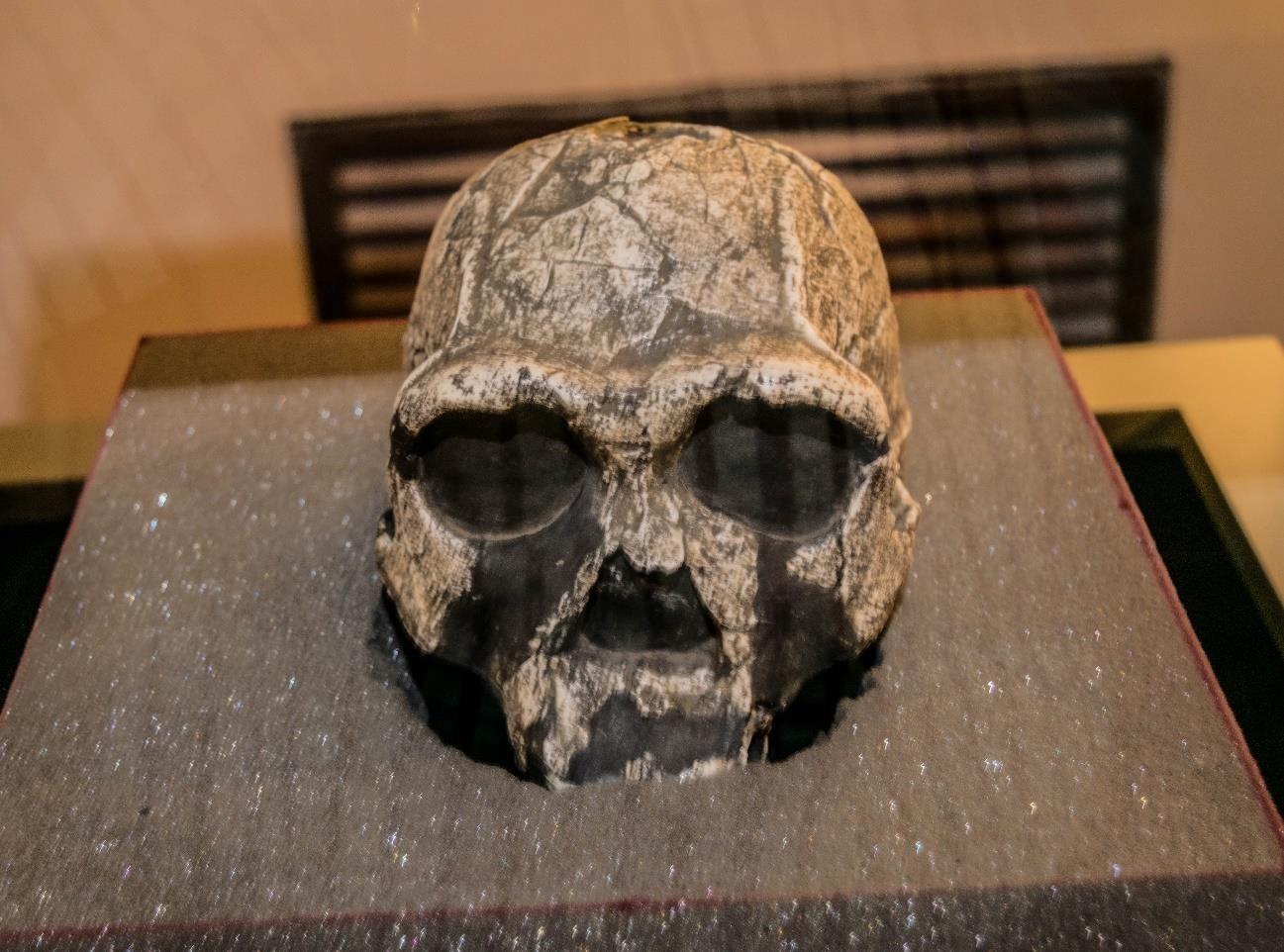 Figure 2: Homo Erectus skull on display in the Early Man gallery, National Museum of Kenya