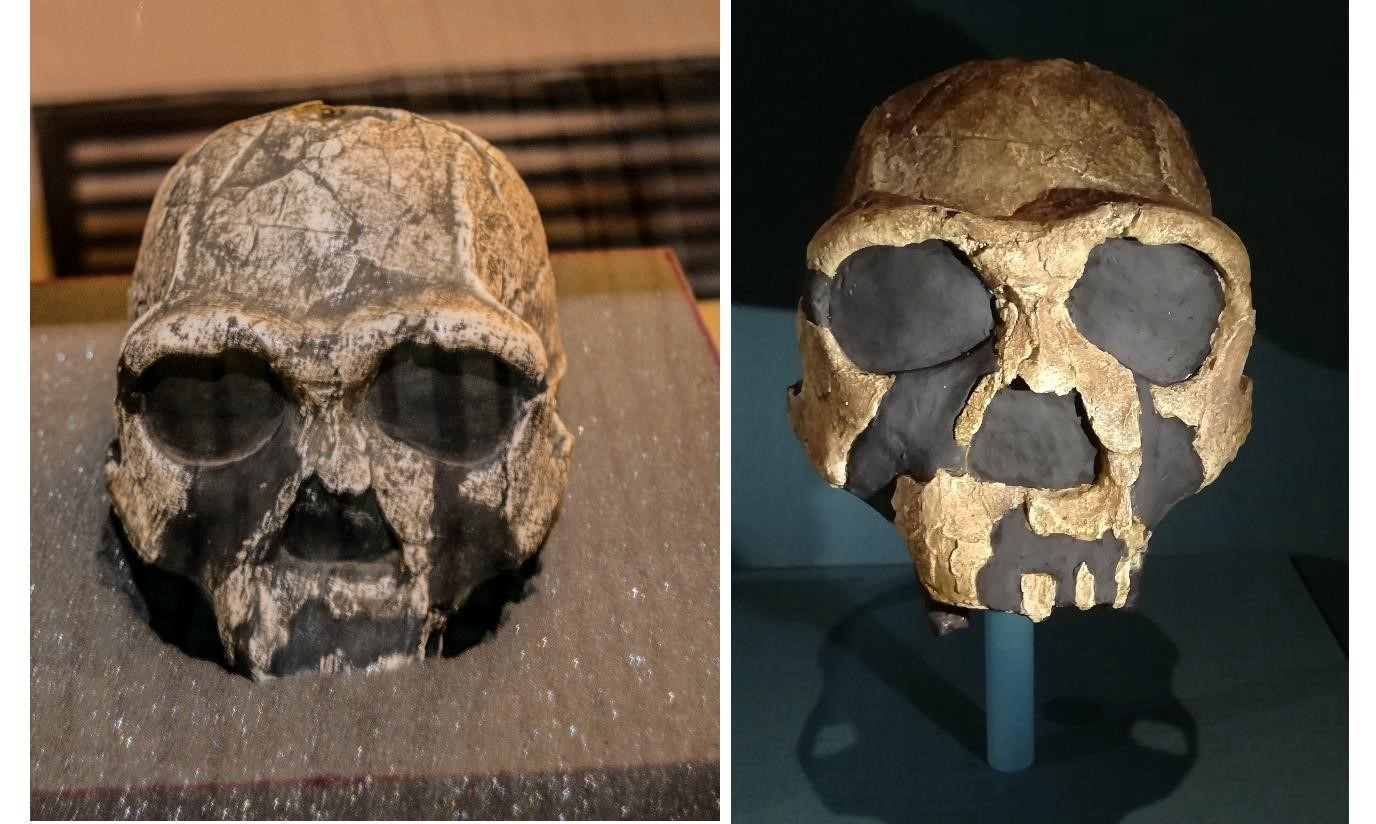 Figure 4: Left, Homo erectus skull found in National Museum, Kenya. Right, a model of the same skull in the Natural History Museum London.