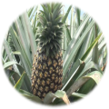 ananas_resize.png