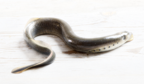 - The korokoro is an eel-like fish that has a sucker mouth with horny teeth and a rasping tongue. It was a highly valued food of Māori, that was harvested at the beginning of the Māori new year. It leaves the ocean during winter and early spring, migrating up freshwater streams to spawn.
