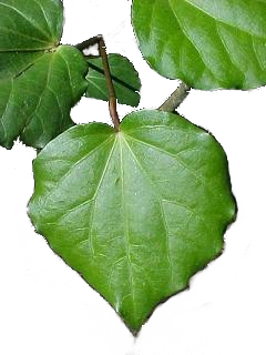 Kawakawa - A versatile herb and one of the most important in Māori medicine. Traditionally used as: antiseptic for cuts and wounds, chewed to relieve toothache, stomach and rheumatic pain, to treat skin disorders and as an insecticide.