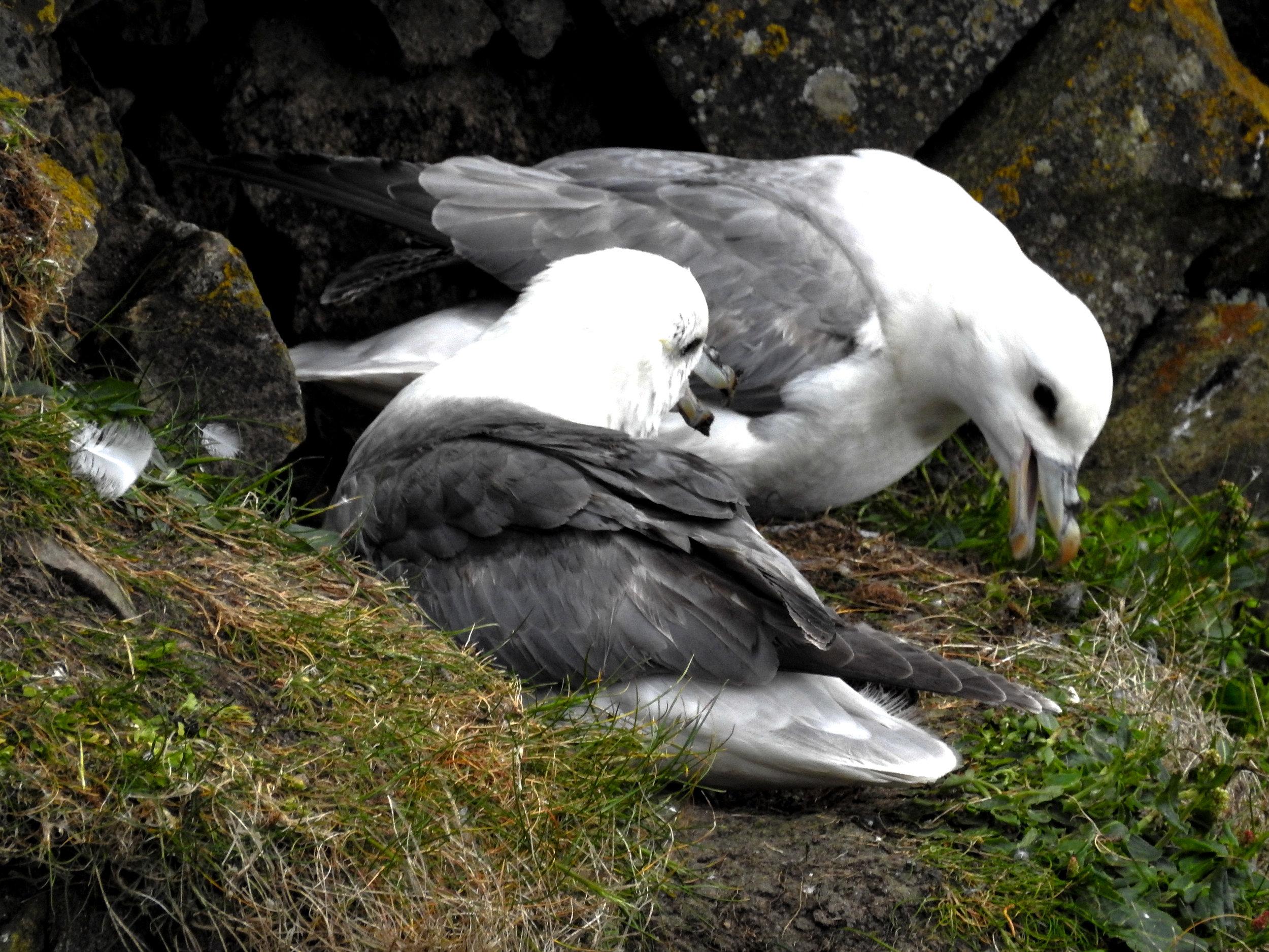 Nesting fulmar