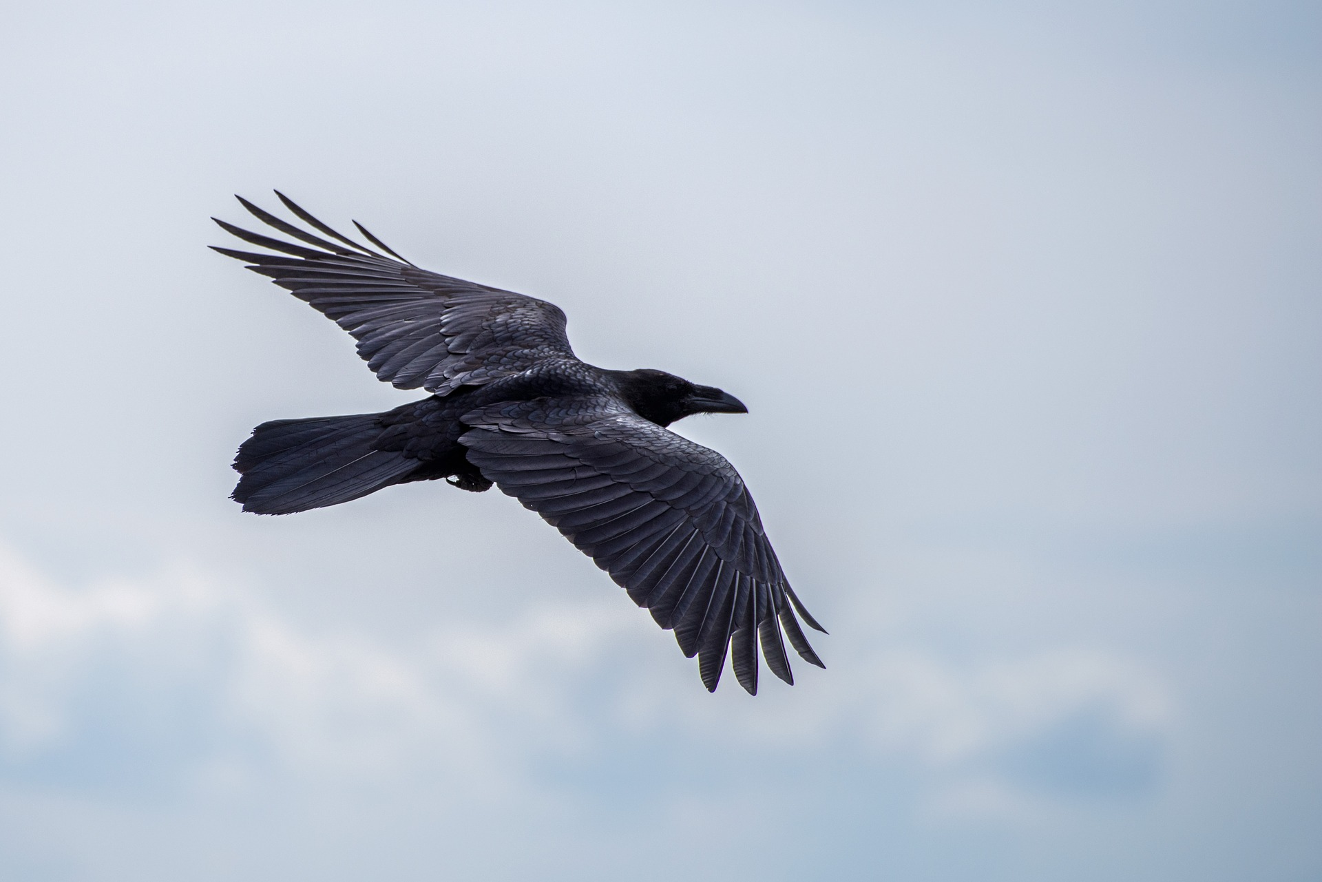 The raven is huge compared to other corvids. Note the 'fingers' on the wings, the diamond-shaped tail and the long and heavy beak.