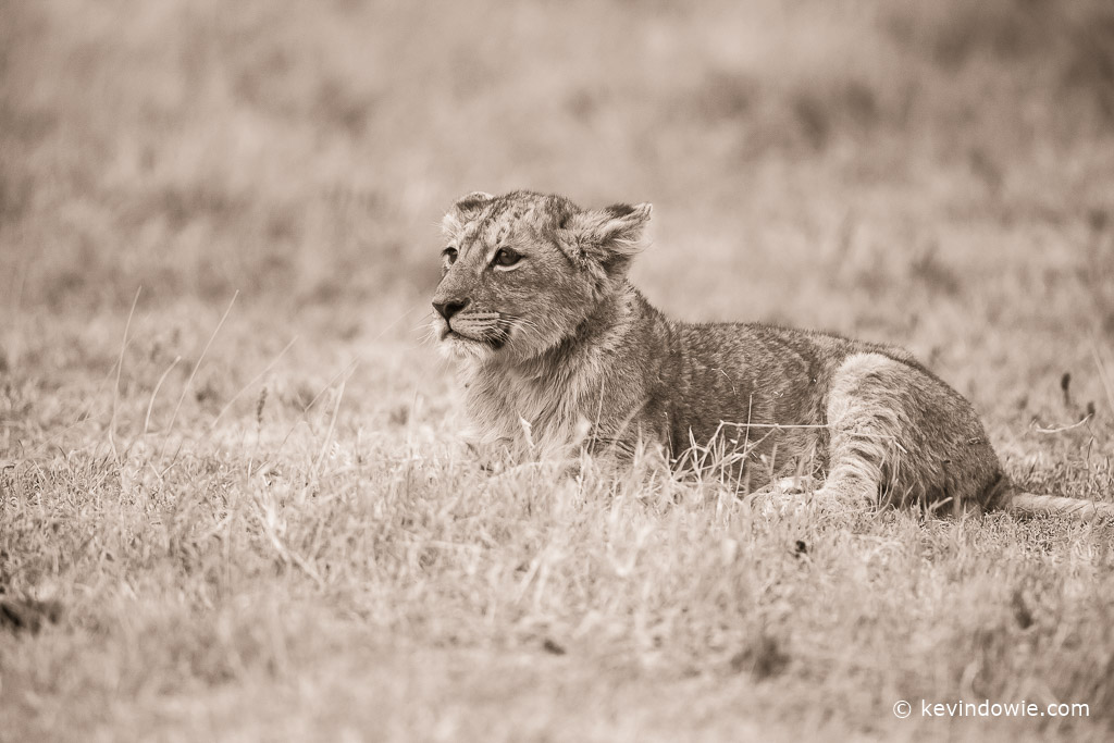 Toned lion cub