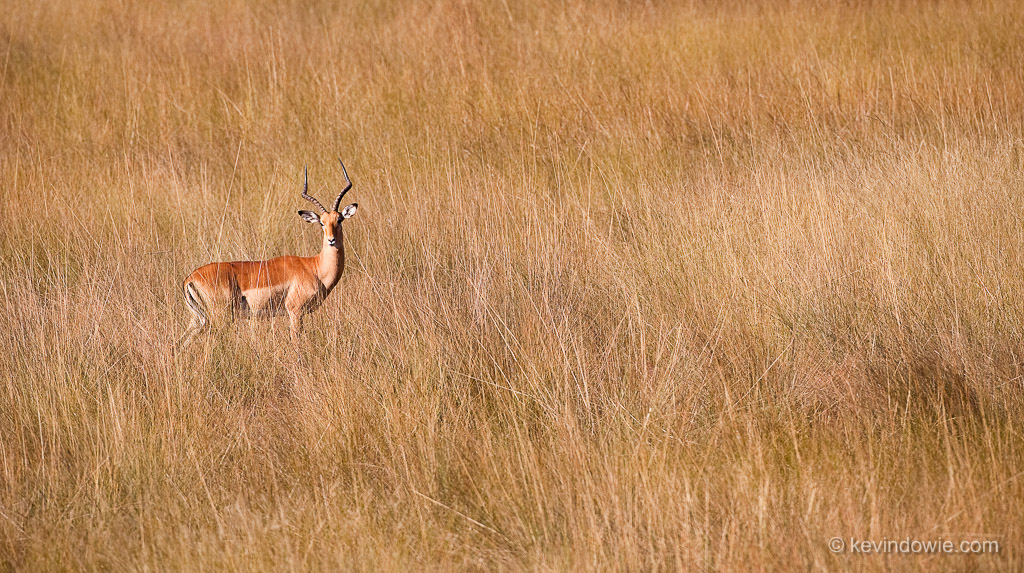 Impala in tall grass