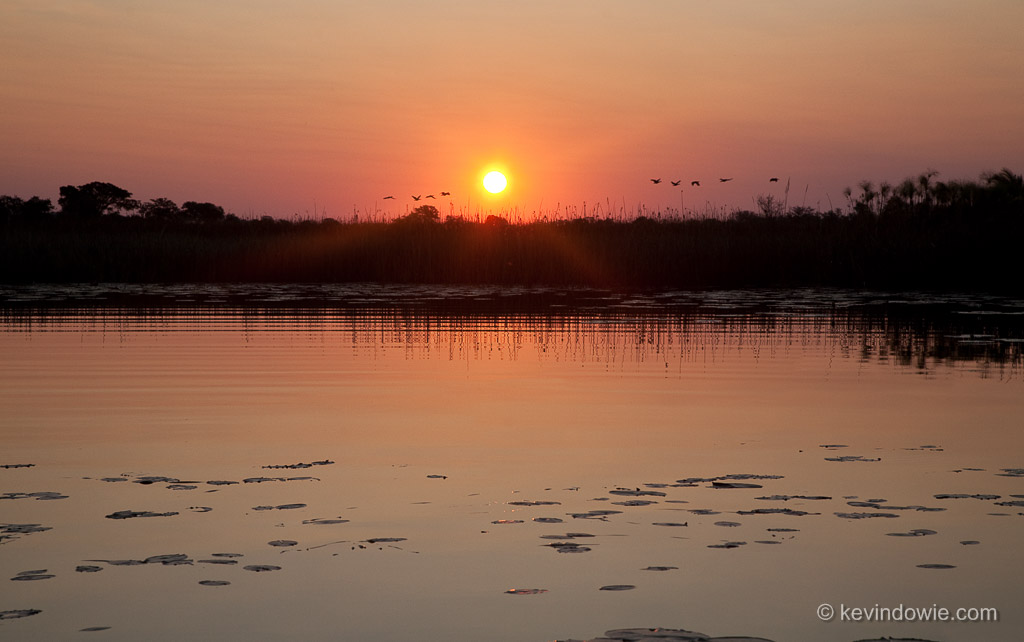 Open billed storks flying home at sunset, Okavango Delta